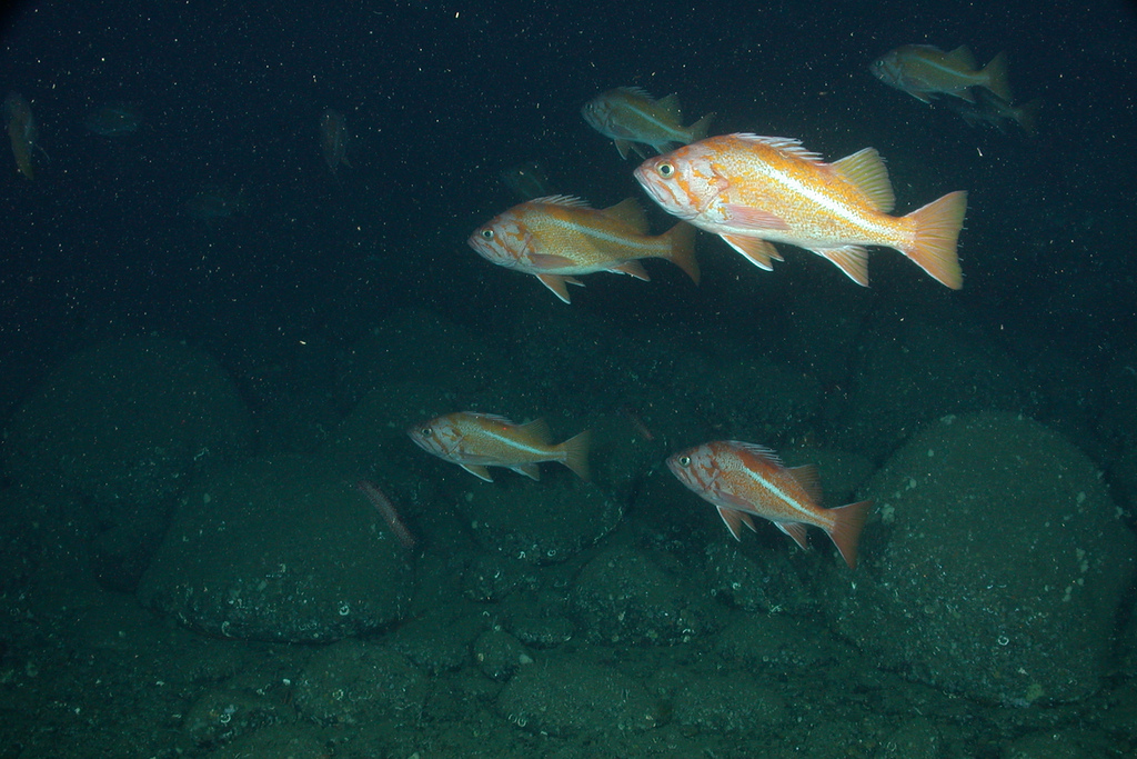 A school of Canary Rockfish. Photo by NOAA's National Ocean Service.