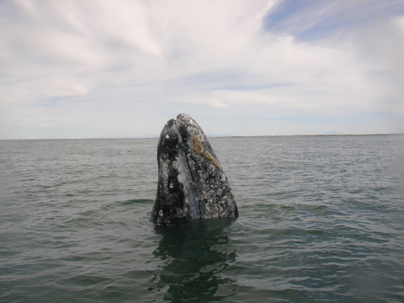 Ecosystems like the Salish Sea are connected to many places by animals like the gray whale as well as by things like commerce and economics. We need to pay attention to these connections. Photo: J. Mazet