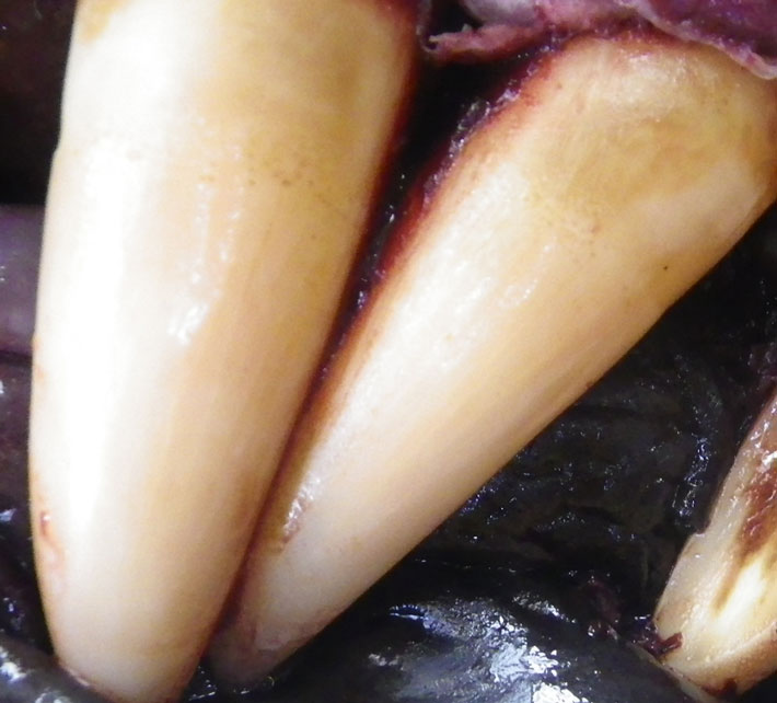 Closeup of killer whale teeth by J. Gaydos