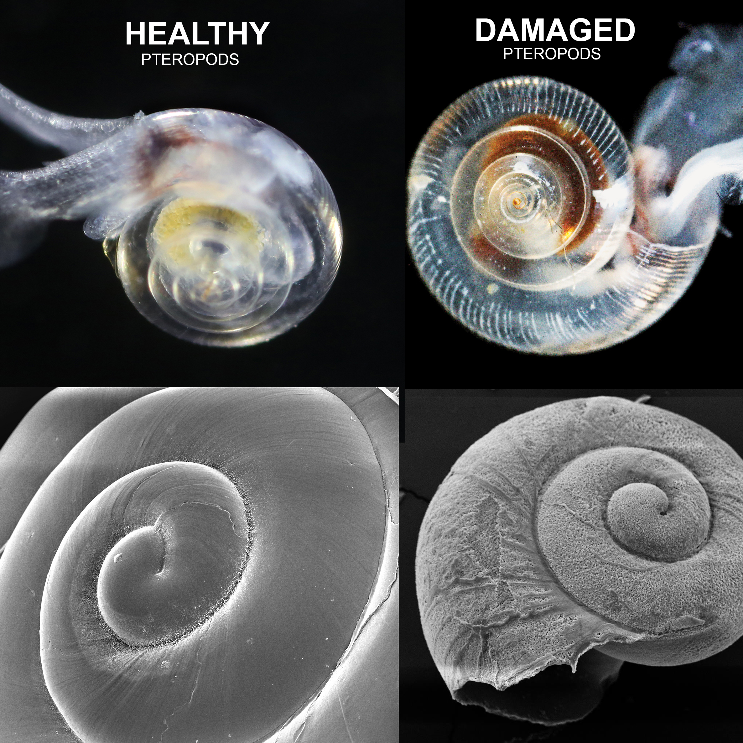 pteropod-shell-comparisons-square.jpg