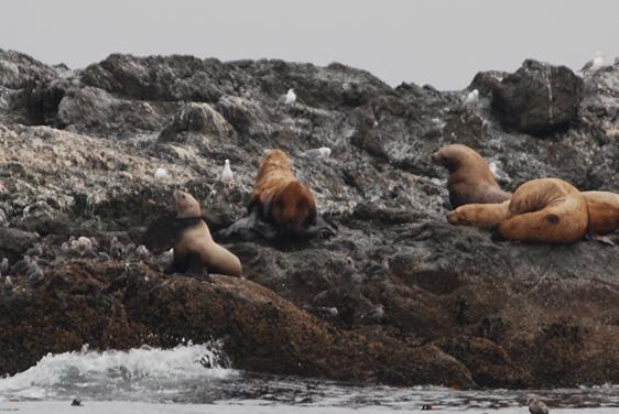 Entangled sea lion. SeaDoc photo.