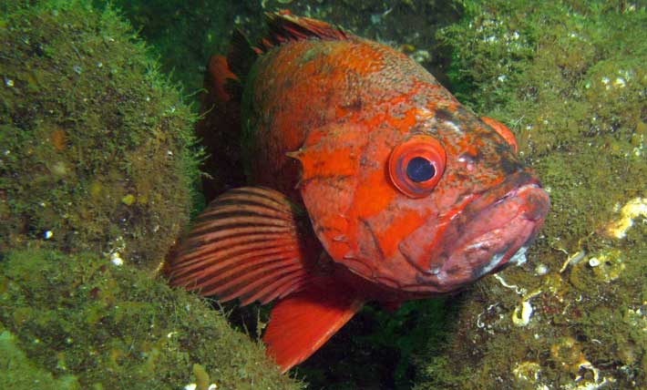 Vermillion rockfish by Janna Nichols