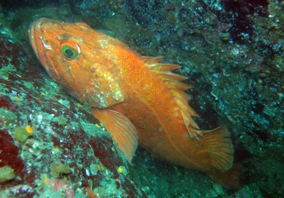 Photo of yelloweye rockfish by Ed Gullekson