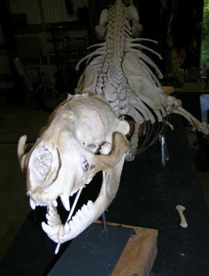 Harbor-Seal-Skeletonheadshot-010.jpg