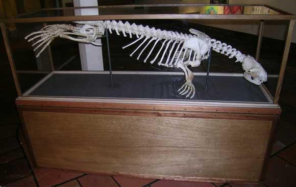 harbor-seal-skeleton-002.jpg