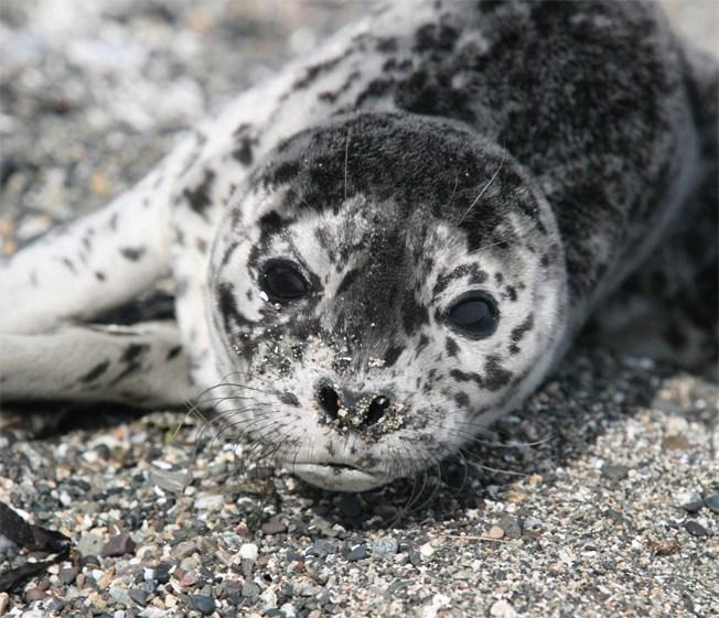 Harbor-Seal-Pup-July-09-B.-Friel.jpg