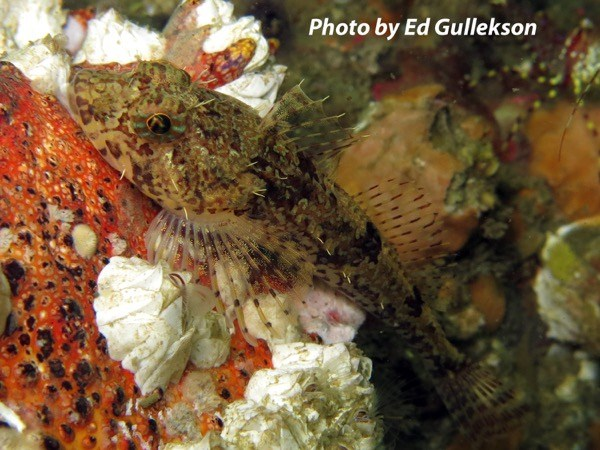 Northern sculpin