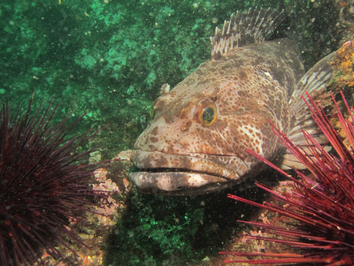 Ling cod with red urchins