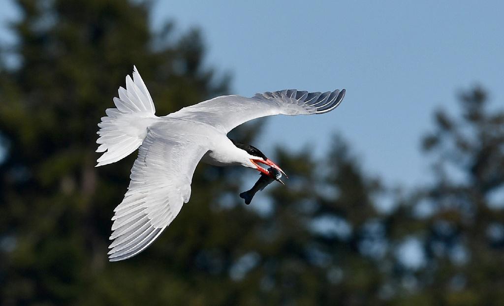 Caspian Tern Catch, by Faith Halko