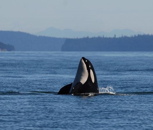 joe-gaydos-killer-whale.jpg