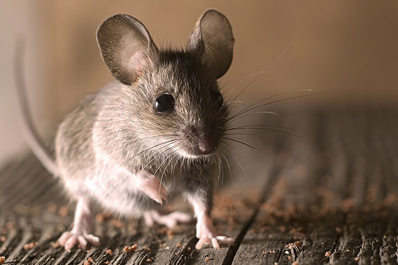 rodents -