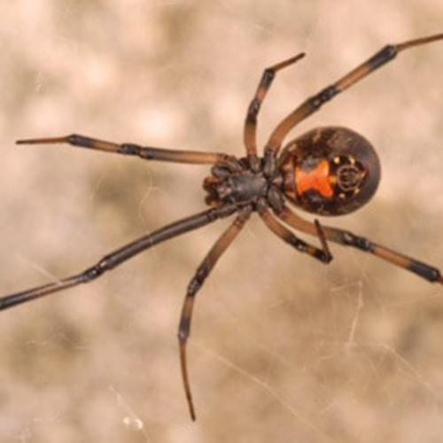 Southern-Black-Widow.jpg