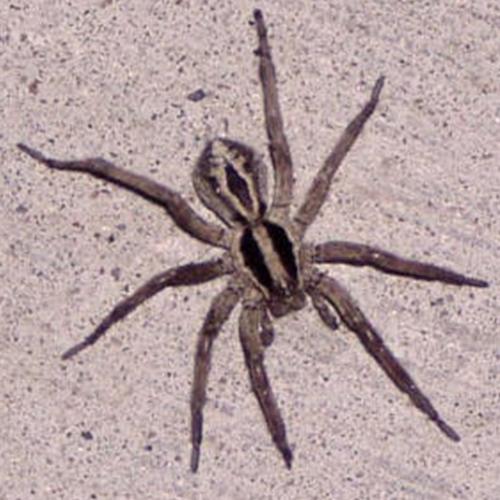 Two-Striped-Ground-Spider.jpg