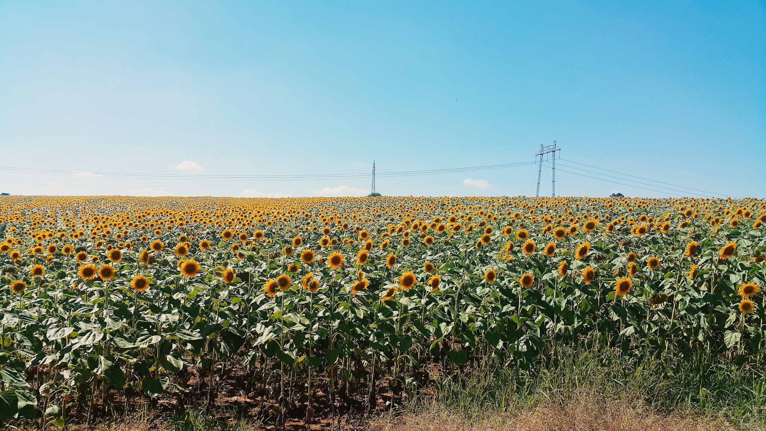 A sunflower field in Lukovit, Bulgaria