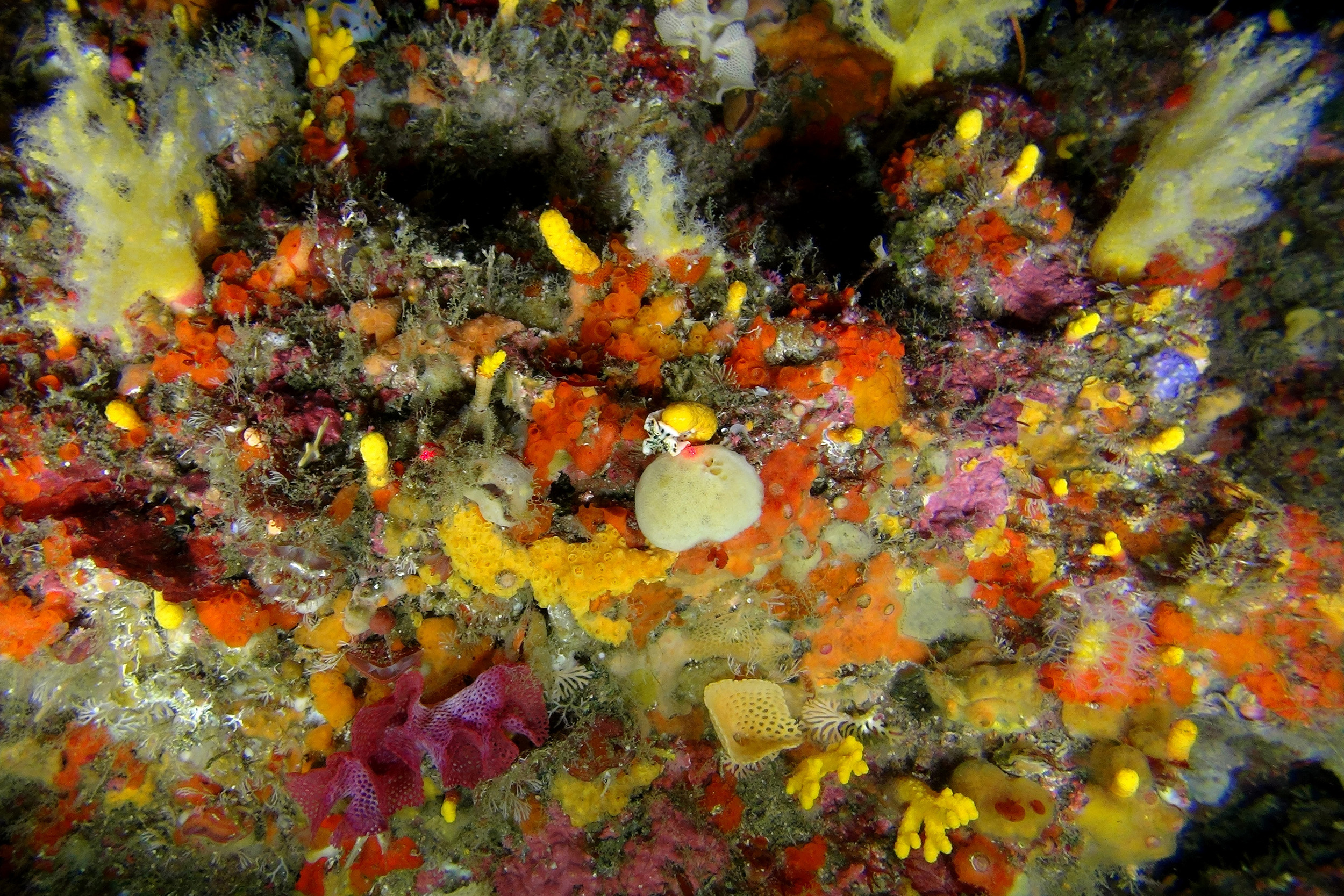 The deep reefs of Aliwal Shoal support an incredible diversity of corals, which are important nurseries for fish (ACEP Surrogacy Project)