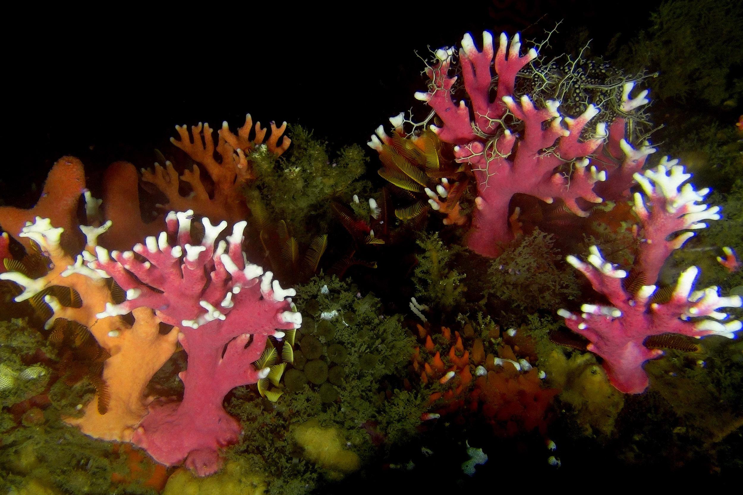 Lace corals