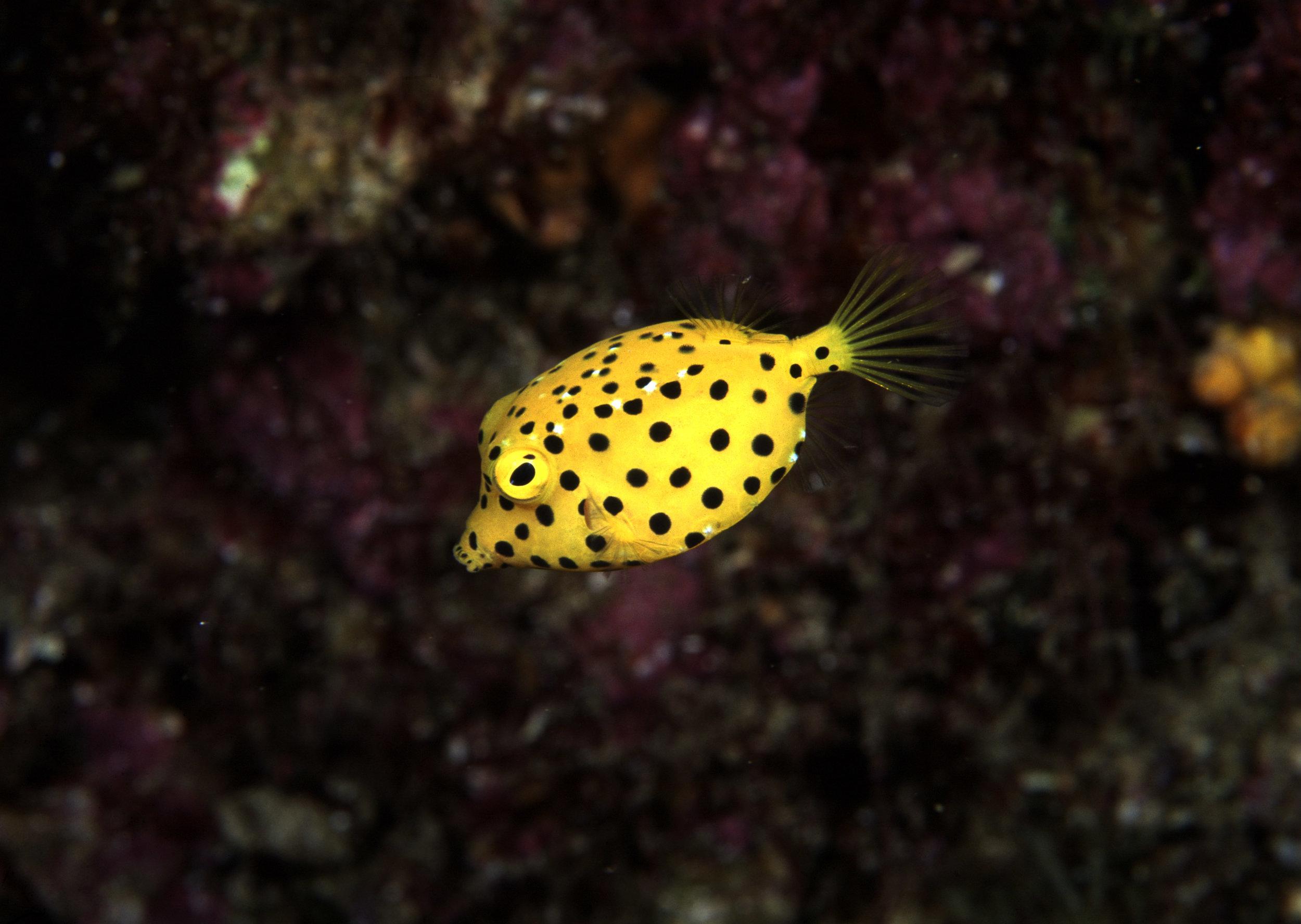 A boxfish on Aliwal Shoal (Geoff Spiby)