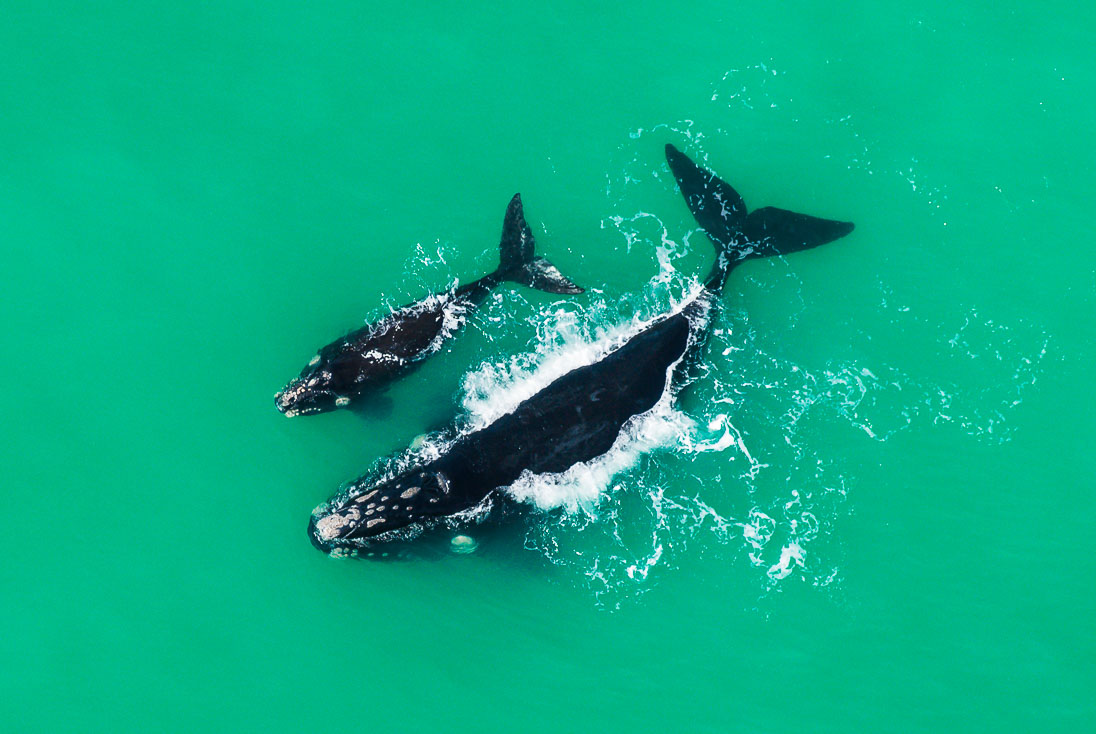 Southern right whale mother and calf (Peter Chadwick)