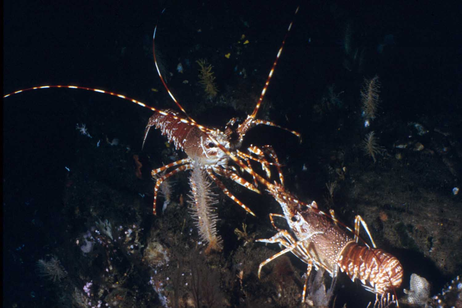 Our South Coast Rock Lobster only occurs in South Africa (Jago submersible)
