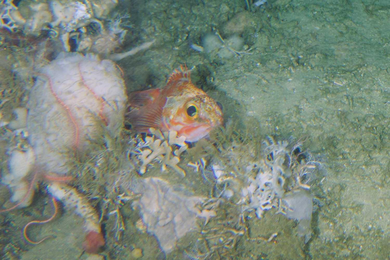 Coral perch