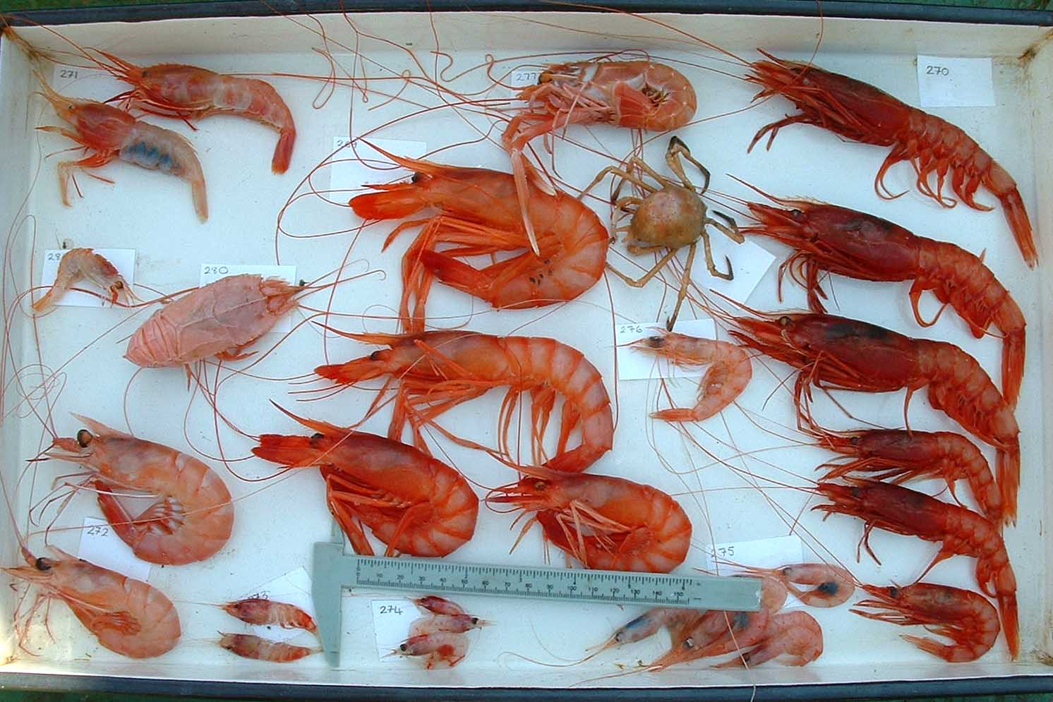 uThukela Bank supports a diversity of crustaceans (ACEP)