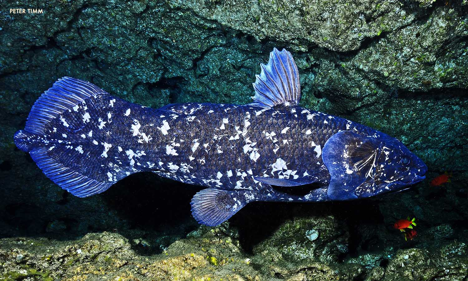 Noah the Coelacanth (Peter Timm)