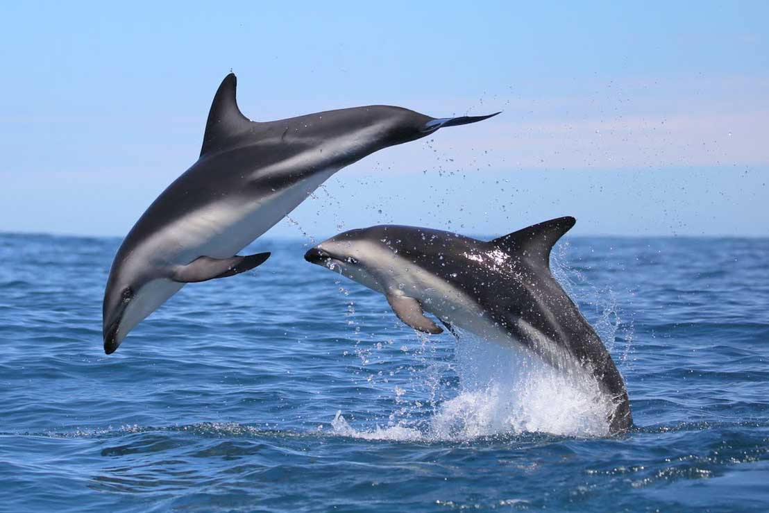 Heavisides dolphins (Simon Elwin)