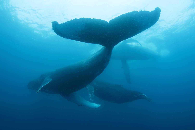Humpback whales (Steve Benjamin)