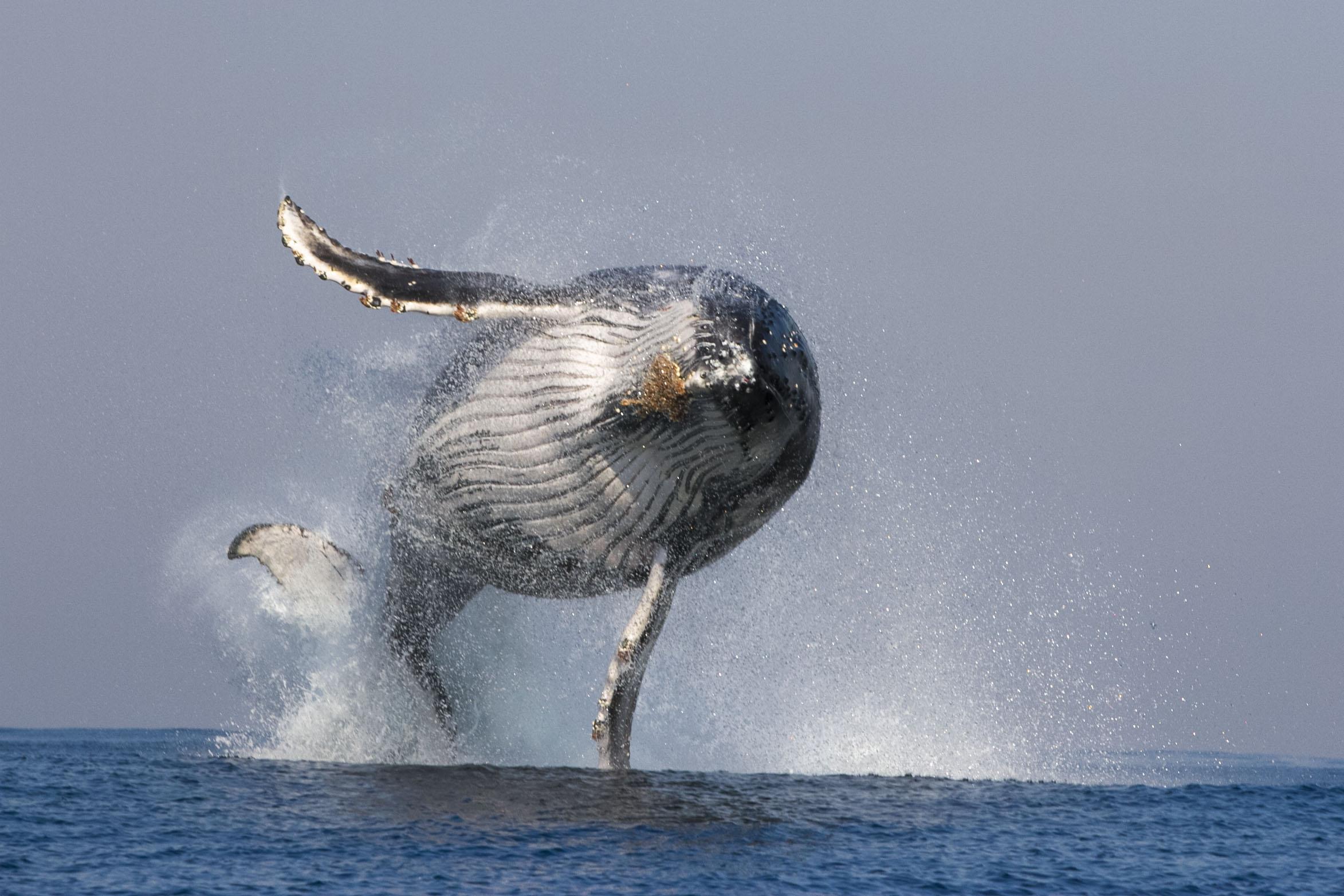Humpback whale breaches (Steve Benjamin)