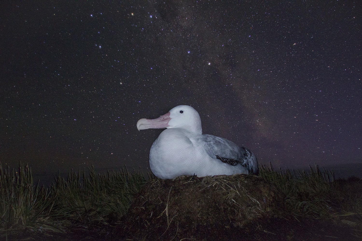 A female wandering albatross incubates her egg under a starry sub-Antarctic sky (Otto Whitehead)