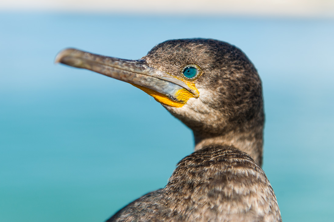 Cape cormorants breed and feed in the fertile waters around the Cape Peninsula (Peter Chadwick)