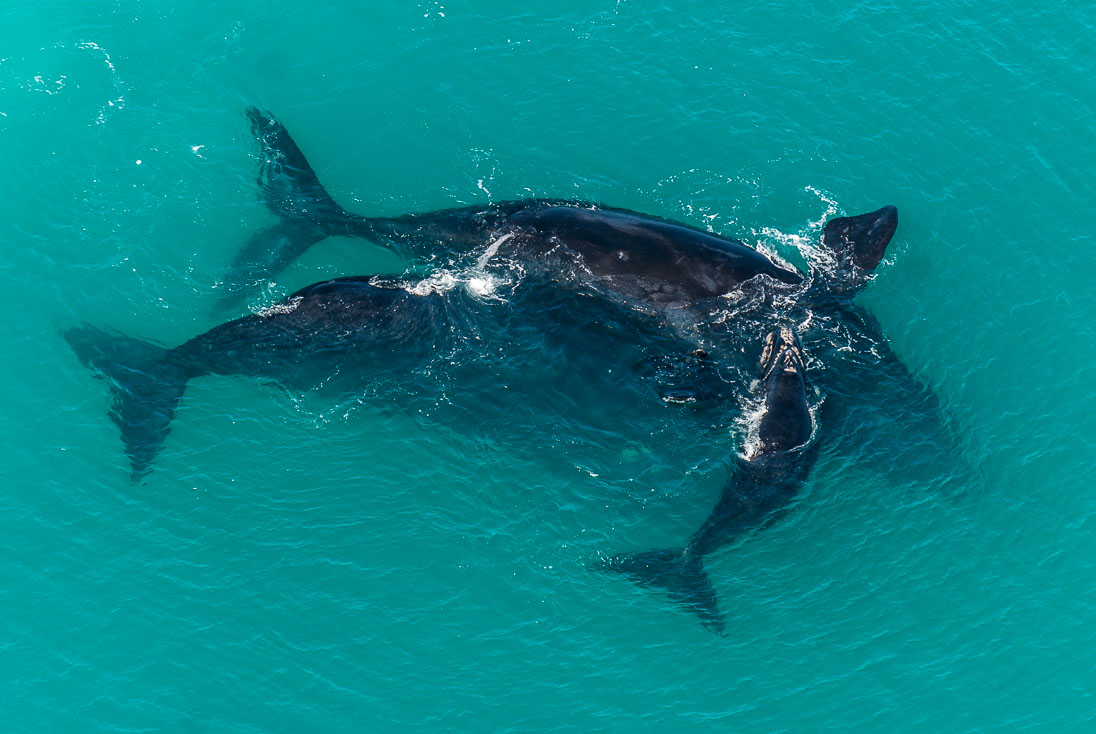 005_Southern Right Whales_PeterChadwick_AfricanConservationPhotographer.jpg