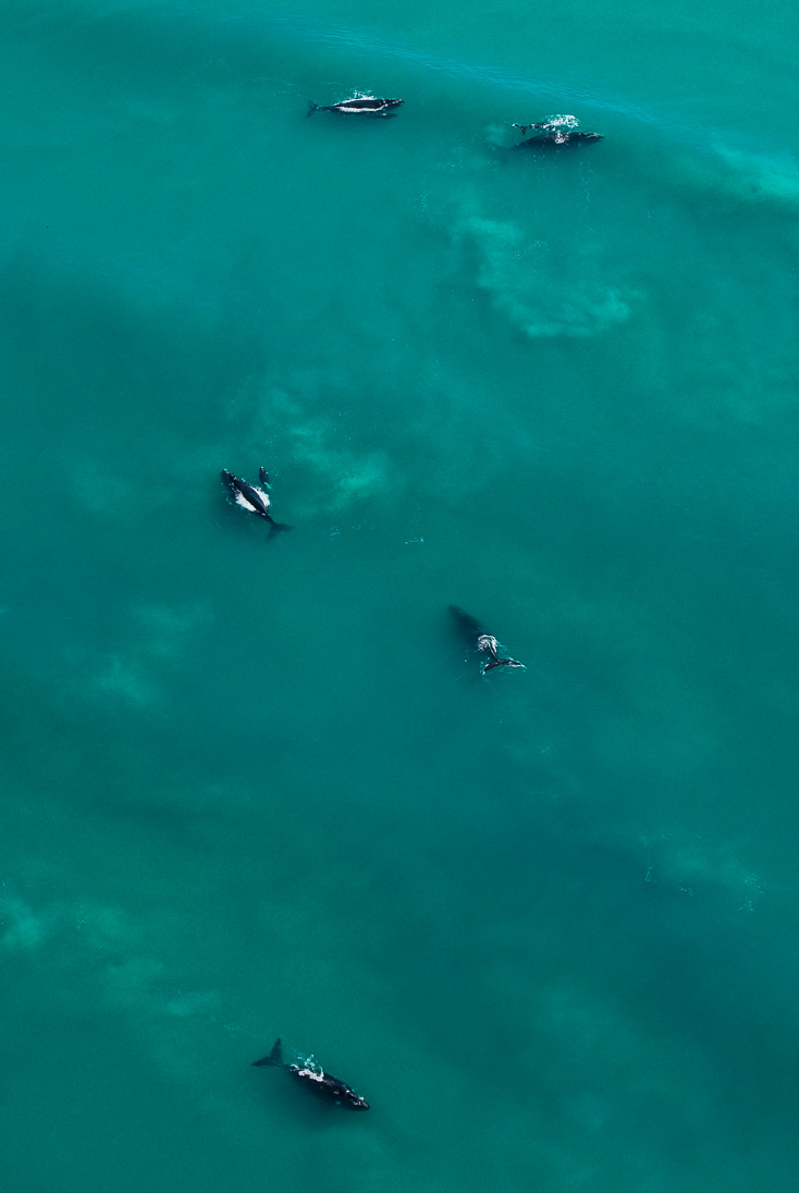 008_Southern Right Whales_PeterChadwick_AfricanConservationPhotographer.jpg