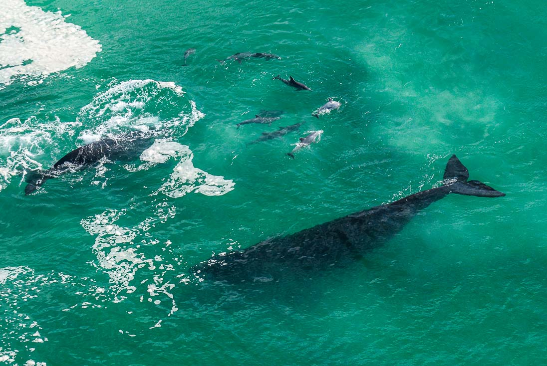 009_Southern Right Whales_PeterChadwick_AfricanConservationPhotographer.jpg