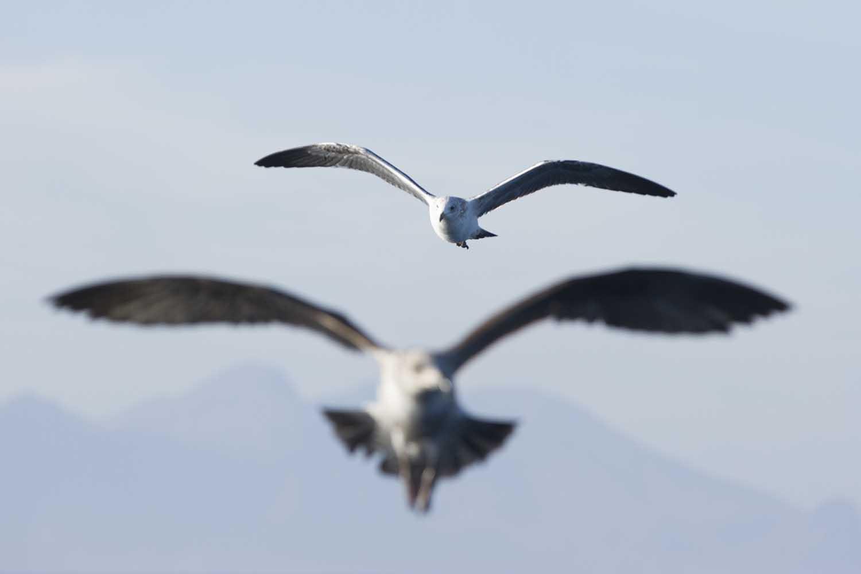 Kelp gulls (Steve Benjamin)