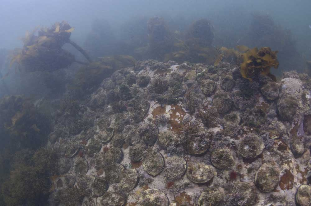 The MPA provides protection to dense beds of abalone, a severely overexploited resource in South Africa (Steve Benjamin)