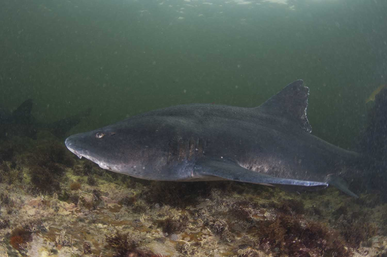 Gully sharks lurk in the shallows, coming out to feed on octopus and crustaceans at night (Steve Benjamin)