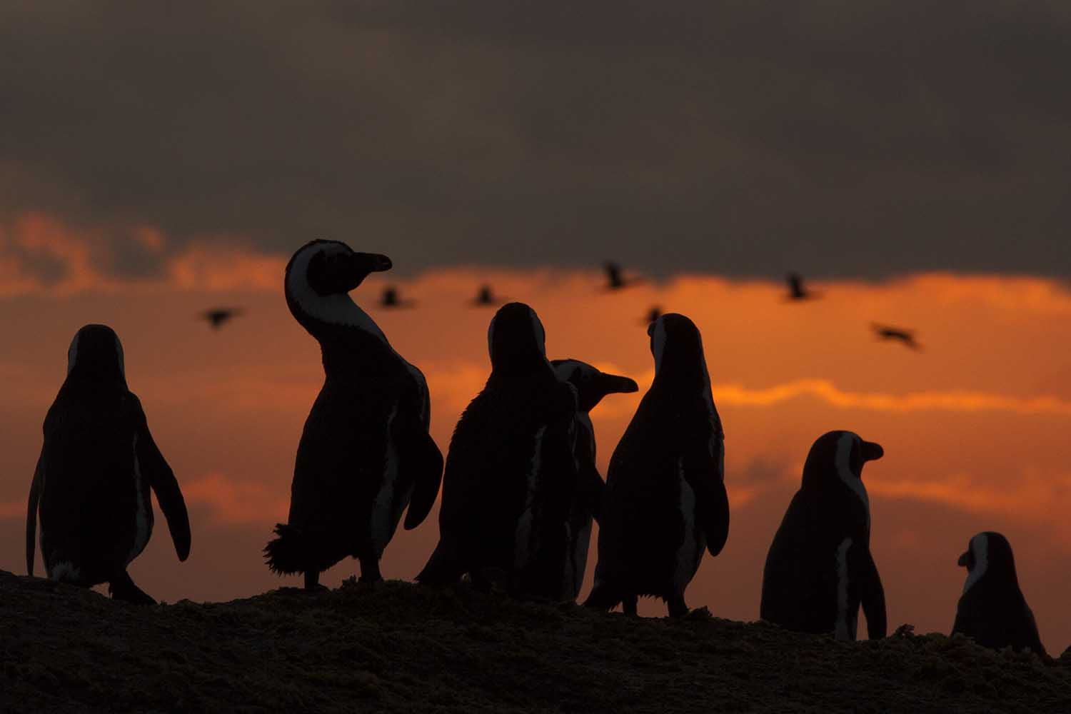 Tourists can visit the African penguins that breed at Boulders and feed in the waters offshore (Steve Benjamin)