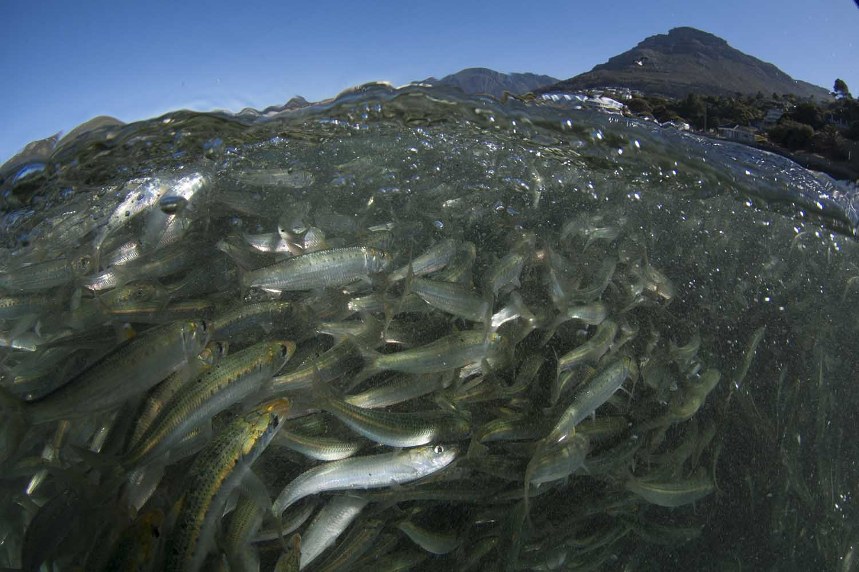 Baitfish swarm in the shallows on the Atlantic side of the peninsula (Steve Benjamin)