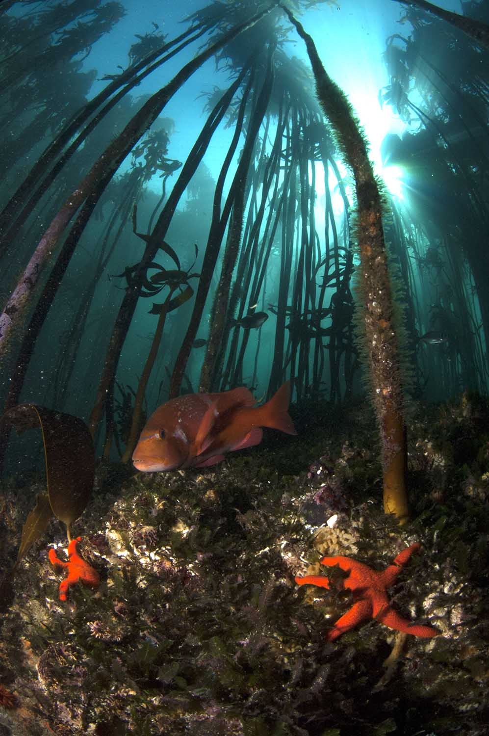 The kelp forests of the Table Mountain National Park MPA are spectacular and are home to many endemic reef fish, such as red roman (Steve Benjamin)