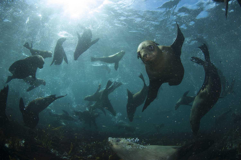 Cape fur seals dart through the water at Duiker Island, where tourists can snorkel with seals (Steve Benjamin)