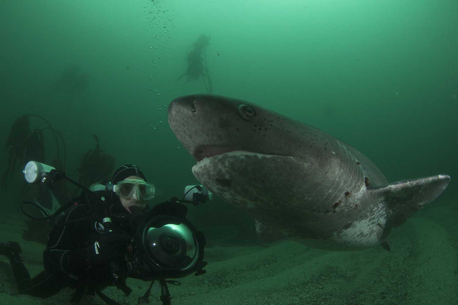 Many tourists come to dive with the sevengill cow sharks that frequent the kelp forests (Steve Benjamin)