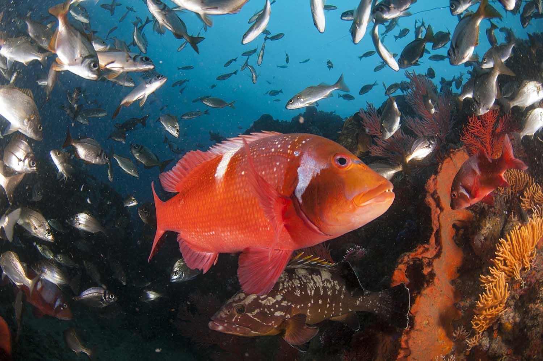 de-hoop-marine-protected-areas-south-africa-steve-benjamin-fish-roman-web.jpg