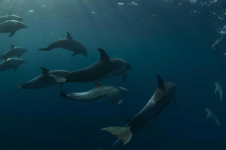 pondoland-mpa-steve-benjamin-bottlenose-dolphins_web.jpg