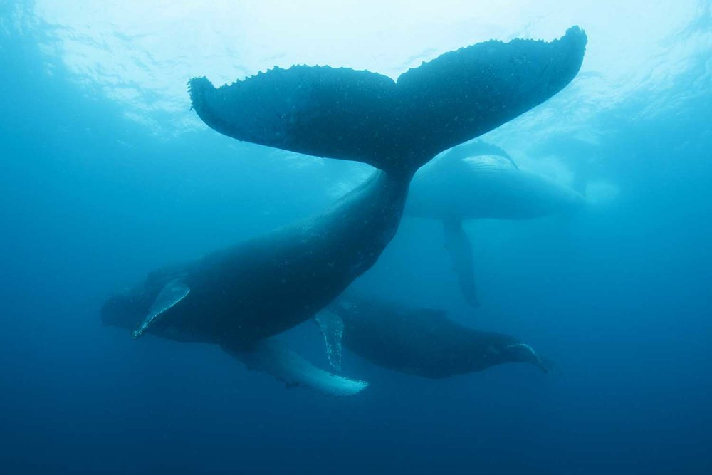 iconic species -