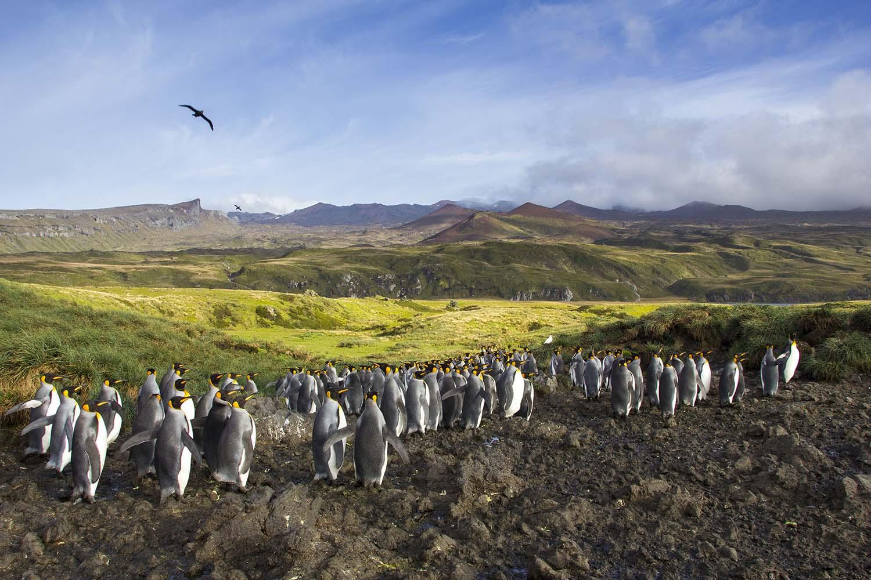 King penguins at King Penguin Bay (Otto Whitehead)
