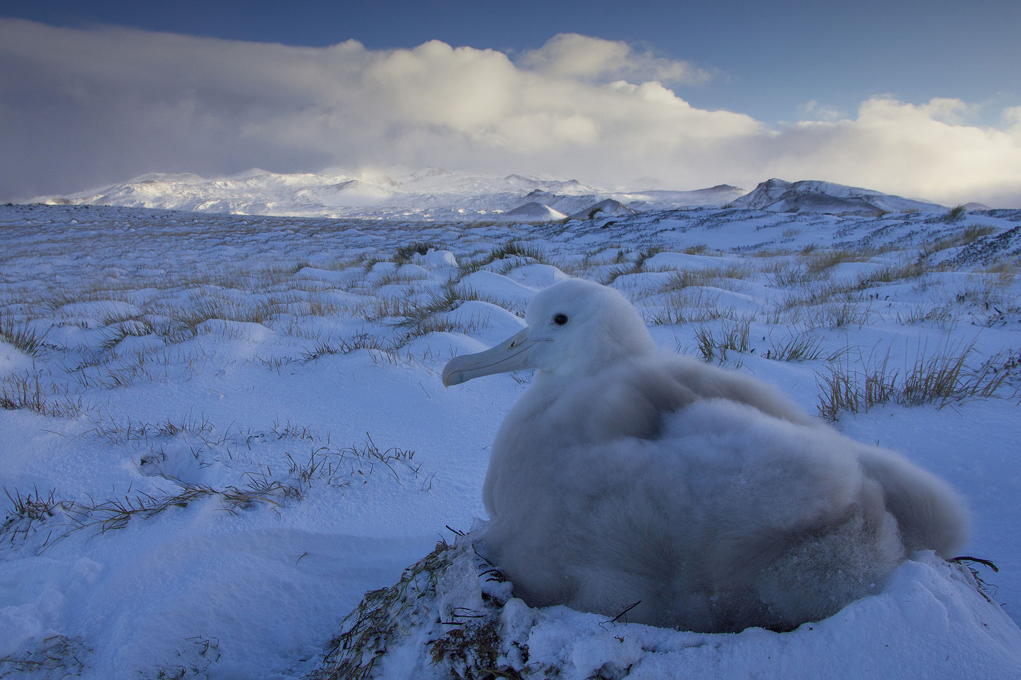 The fluffy winter coat of a wandering albatross chick helps it survive the harsh winters on Marion Island (Otto Whitehead)