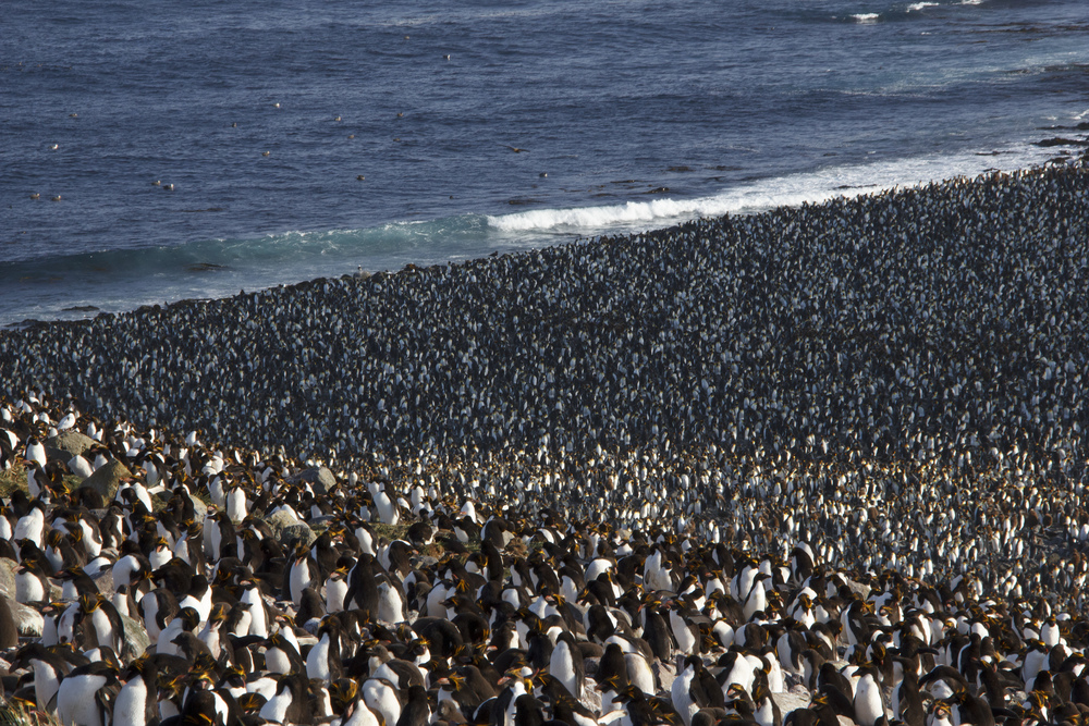 Hundreds of thousands of macaroni penguins and king penguins breed at Kildalkey Bay (Otto Whitehead)