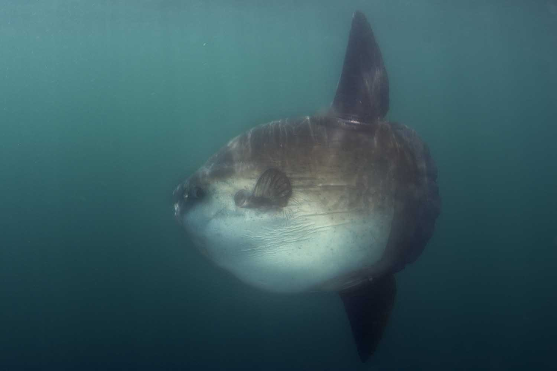 Mola mola or sunfish are often seen feeding on the Atlantic side of the peninsula (Steve Benjamin)