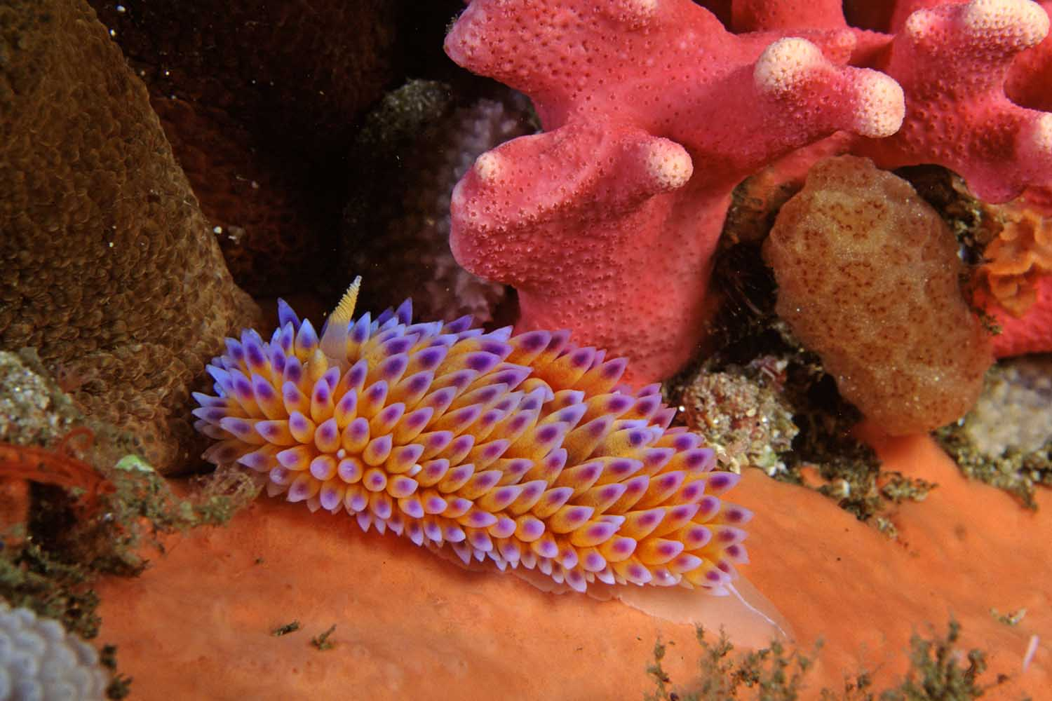 The MPA is home to many species of nudibranchs found nowhere else in the world (Geoff Spiby)